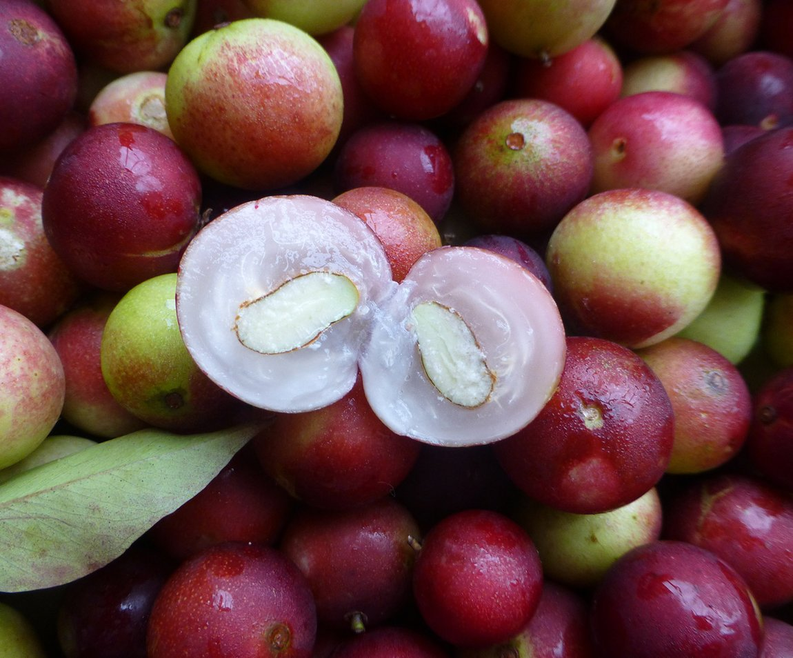 Exotic Camu camu plant for everything
